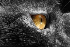 l'oeil (desmoniac) Tags: cat kitten chat gato matou chaton cachou chatouille ruby10 desmoniack desmoniac
