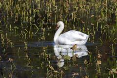 Swan in Autumn (al-ICE g) Tags: swan nj trenton springlake abbottmarshlands