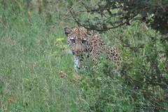 DSC_9330 (Arno Meintjes Wildlife) Tags: africa animal southafrica leopard bigcat predator krugerpark big5 arnomeintjes