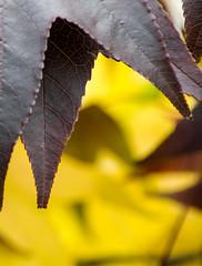 Sweet Gum Leaves (cbrewer15) Tags: nature leaves pentax kentucky ky cincinnati sweetgum k3 fortthomas pentaxlens justpentax pentaxart pentaxk3