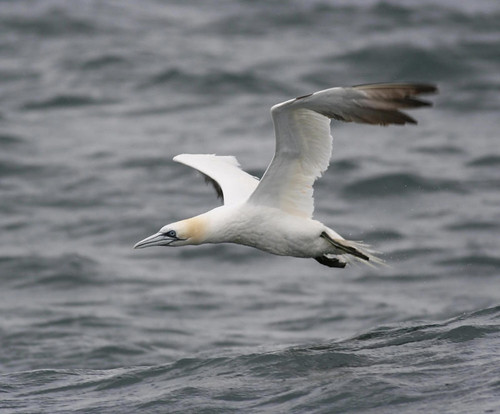 "Gannet • <a style=""font-size:0.8em;"" href=""https://www.flickr.com/photos/30837261@N07/10722893505/"" target=""_blank"">View on Flickr</a>"