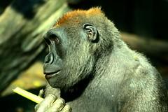 Happy Gorilla (patch.1313) Tags: nyc animal zoo nikon gorilla brox nkkor 70300mmf4556gvr d7100 nikkor70300mmf4556gifedafsvrzoom capturenx2