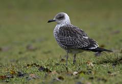 Fuscish (Frode Falkenberg) Tags: birds norway gulls bergen hordaland fugler lesserblackbackedgull larusfuscus mker sildemke