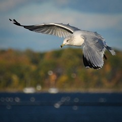 Offshore Banking (Carl's Captures) Tags: autumn bird fall