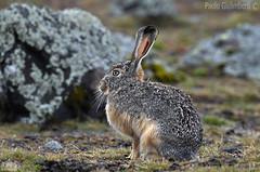 Lepre di Stark, Lepus starki, Ethiopian Highland Hare (paolo.gislimberti@gmail.com) Tags: mammals mammiferi