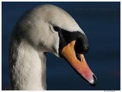 Bird 28 (Brian Gort Wildlife Photography) Tags: morning winter wild portrait cold bird water canal warrington swan nikon wildlife sigma sankey valley mute