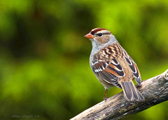 Bruant  couronne blanche / Whithe-crowned Sparrow (Alain Daigle) Tags:  sparrow blanche bruant couronne whithecrowned