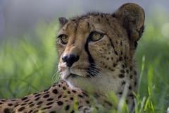 San Diego Zoo Global Joins Cheetah Breeding Coalition (San Diego Zoo Global) Tags: nature animals