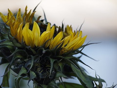 PC112700 (caligula1995) Tags: flowers sunflower ardenwood ebparksok