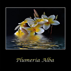 Plumeria Alba (Kaye Menner) Tags: flowers light white black flower texture water floral yellow reflections photography pond flora plumeria text digitalpainting tropical frangipani buds bouquet whiteflowers tropicalflowers reflectionsonwater plumeriabouquet plumeriaalba blackwhiteyellow whiteandyellowflowers plumeriabuds frangipanibouquet reflectionsonpond kayemennerphotography kayemennerfloral kayemenner yellowandwhitefloral yellowandwhiteflora plumeriareflections
