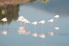 DSC_7578.jpg (Ferraris Clemente) Tags: sardegna wild birds sardinia uccelli pinkflamingo olbia stagno fenicotterirosa
