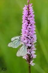 Black-veined Whites (Reinhardt Strubbe) Tags: white animals fauna butterfly insect insects blackveined