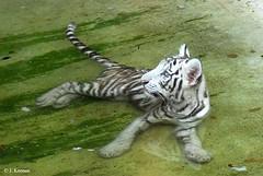 "White Bengal Tiger ""Cub"" ~ Panthera tigris bengalensis (HGHjim) Tags: tampa zoo florida tigris whitetiger animalkingdom bengaltiger bengalensis panthera whitebengaltiger zoophotos pantheratigristigris lowerypark pantheratigrisbengalensis loweryparkzootampafl"