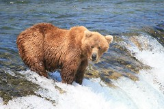 Grizzly Bear (jpotto) Tags: animals alaska bears grizzlies grizzlybear brooksfalls