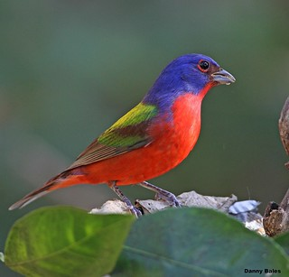 PAINTED BUNTING 1-11-14 6994 EXPLORE