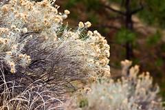 Autumn Sagebrush 1 (LongInt57) Tags: flowers autumn brown canada tree green fall nature leaves pine grey leaf bush bc okanagan blossoms gray seeds kelowna sagebrush vision:outdoor=0847