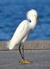 DSC_3495 (claymore2211) Tags: white bird vertical winner snowyegret twothumbsup yellowfeet unanimous thumbwrestler challengeyou thechallengefactory superherochallenges herowinner ultraherowinner friendlychallengessweep