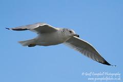 Ring-billed Gull (Larus delawarensis) (gcampbellphoto) Tags: bird american northernireland countyantrim rarity scarce ringbilledgull larusdelawarensisgull gcampbellphoto