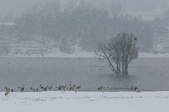 (Black-Necked Crane) (zhouyousifang) Tags: china winter snow yunnan  2014 blackneckedcrane
