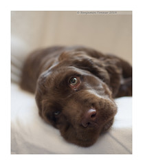 Bailey (frattonparker) Tags: puppy nose eyes raw isleofwight spaniel muzzle jowls cs6 nikond90 nikkor35mmf18 colorefexpro4 btonner frattonparker