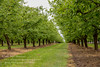 An Orchard Of Plum Trees (Peter Greenway) Tags: france dordogne orchard aquitaine plumtrees rowoftrees thedordogne saintesabineborn