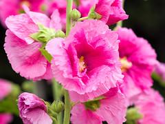 P6210805 (bluebullet) Tags: pink summer plant flower nature beautiful japan closeup season bright outdoor july nopeople clean neat ornate hollyhock earlysummer ishikawaprefecture hakusancity
