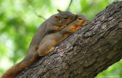 Mother Love Part 1 (Kaptured by Kala) Tags: baby nature squirrel mother grooming kala motherandbaby babysquirrel foxsquirrel pecantree garlandtexas mothersquirrel kalaking kapturedbykala