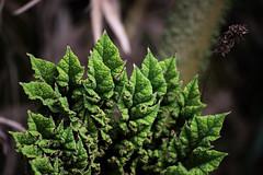 (ChinoMinch) Tags: parque verde green planta nacional herb chilo cucao