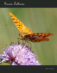 Issoria Lathonia (vitofonte) Tags: naturaleza nature butterfly insect natureza natura mariposa insecto issorialathonia vitofonte thequeenofspainfritillary infinitexposure