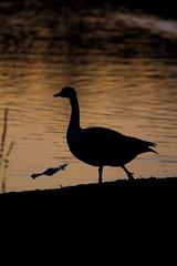 IMG_3250 (laurin.gutwin) Tags: sunset sun lake black bird nature water silhouette forest germany deutschland see wasser sonnenuntergang wildlife natur goose gans teich sonne wald schwarz orang vogel nrnberg untergang weiher