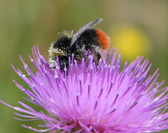 Bee on a thistle (uksean13) Tags: nature closeup canon thistle sunday bee pollen ef28135mmf3556isusm 400d