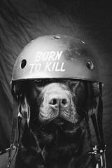 Connie - Born to Kill (Tomas.Kral) Tags: bw dog pet animal studio blackwhite labrador helmet fujifilm strobe speedlite yn560ii x100s