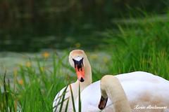 Schwan in der Ohre 14.06.15 IMG_3804 (kevinlindemann1997) Tags: nature animals germany deutschland tiere natur pflanzen landschaft pur