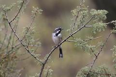 Black-throated Sparrow (kidbirder) Tags: