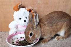 Ichigo san 473 (mensore) Tags:  rabbit bunny netherlanddwarf brown cute pet family ichigo