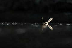 La mort vous va si bien (Emmanuelle2Aime2Ailes) Tags: insecte ailes mort reflets eau abstraction