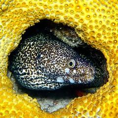 Spotted Moray, Florida Keys (Undersea Window) Tags: olympus olympusunderwater uw43 microfourthirds m43 islamorada spottedmoray eel floridakeys underwaterphotography em5markii ptep13 1250