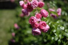 Rose() (kurupa_m) Tags: rose pink summer flower plant hokkaido