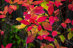 Blue Berry Leaves (Mule67) Tags: fall2016 blue berries leaves red plants colors