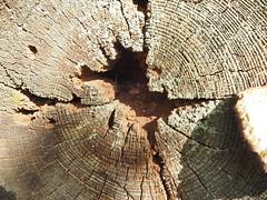chestnut tree trunk (debs-eye) Tags: herstmonceuxchestnuttrees chestnuttree treetrunk