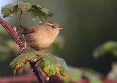Troglodyte mignon (m-idre31 - 5 millions de vues merci) Tags: oiseau bird campuzan hautespyrnes troglodytemignon
