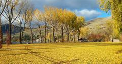 Autumn in Vernon (John W Olafson) Tags: golden yellow leaves cottonwood autumn fall vernon kinbeach