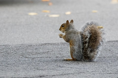 In the Street (Kenjis9965) Tags: eos7dmarkii canon eos 7d mark ii sigma 150600 f563 os c contemporary squirrel tree pumpkin sitting road eating snacking 150600mmf563dgoshsm|c
