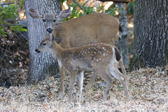 Doe And Fawn (uncle.dee9600) Tags: deer doe fawn doeandfawn nikon nikond7200 telephoto