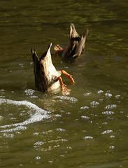 Trier, Palastgarten, Enten (Palace Garden, ducks) (HEN-Magonza) Tags: trier rheinlandpfalz rhinelandpalatinate deutschland germany palastgarten palacegarden ente duck