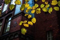 gold dust (ewitsoe) Tags: autumn goldenleaves ewitsoe nikon d80 35mm street city gold autumnal fall poznan wilda poland
