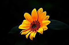 412 Sun Flawer (tsuping.liu) Tags: outdoor organicpatttern blackbackground bright blooming flower plant petal photoborder perspective passion pattern photographt nature natureselegantshots naturesfinest flowers