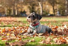 Dog Photography/London (www.natashaballettaphotograhy.com) Tags: schnauzer dogphotography dogphotographylondon dogphotographer dogphotographybatterseapark dog battersea batterseapark autumn
