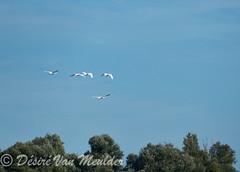 Knobbelzwanen in vlucht - Mute Swans in flight (desire van meulder) Tags: birds swans swan vogels zwaan zwanen muteswan knobbelzwaan