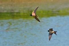Barn Swallows at the pond (ctberney) Tags: barnswallow hirundorustica birds pond flying summer nature